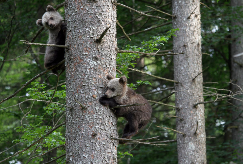 bear cubs climbing on tree kočevsko