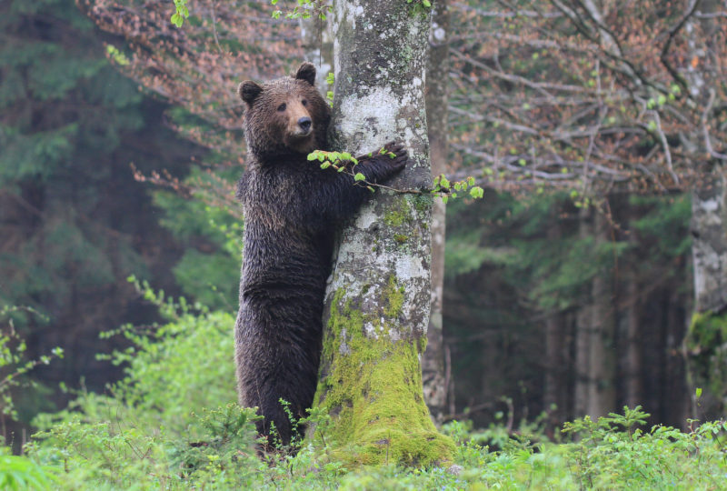brown bear standing up hugging a tree