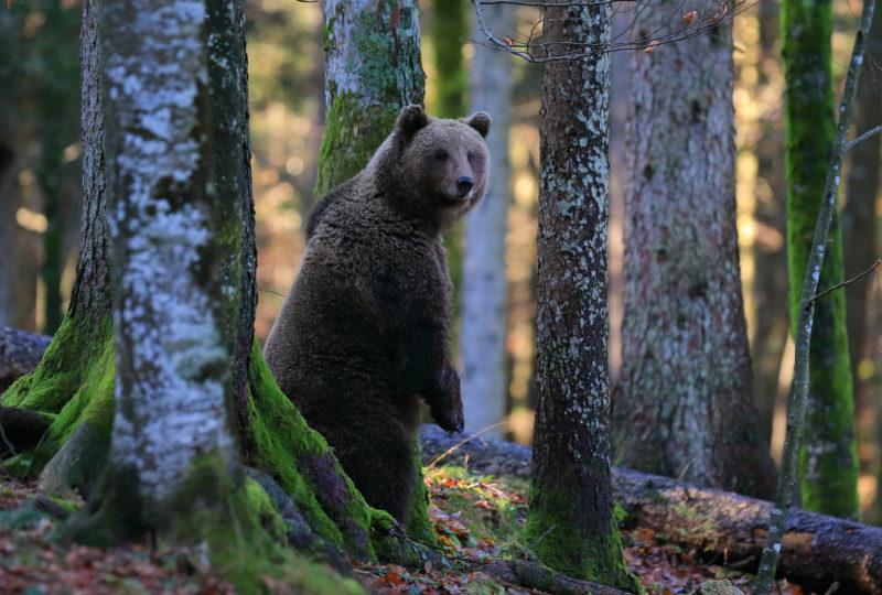 bear walking in forest europe safari