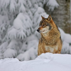 Observing wolfs in slovenian forests in winter and with snow