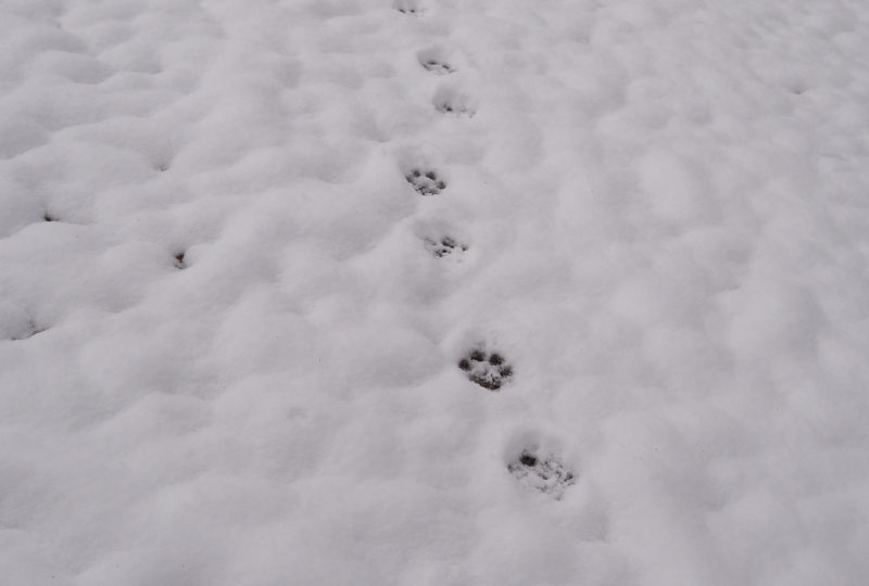 Wolf traces in snow seen at winter wold tracking tour