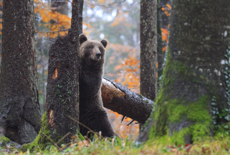 Bear in forest kočevsko in slovenia
