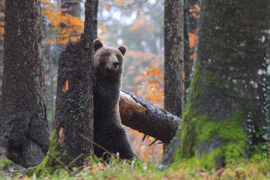 wildlife watching bear