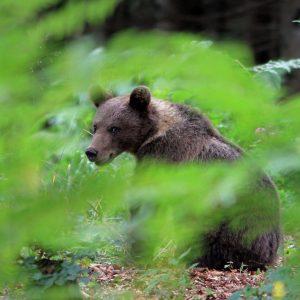 bear-footsteps-hiking-tour-slovenia-kočevje